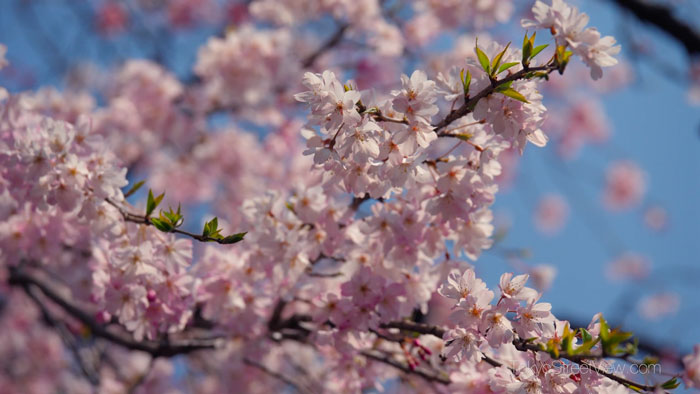 Les cerisiers en fleurs du jardin korakuen de tokyo vid o for Jardin korakuen