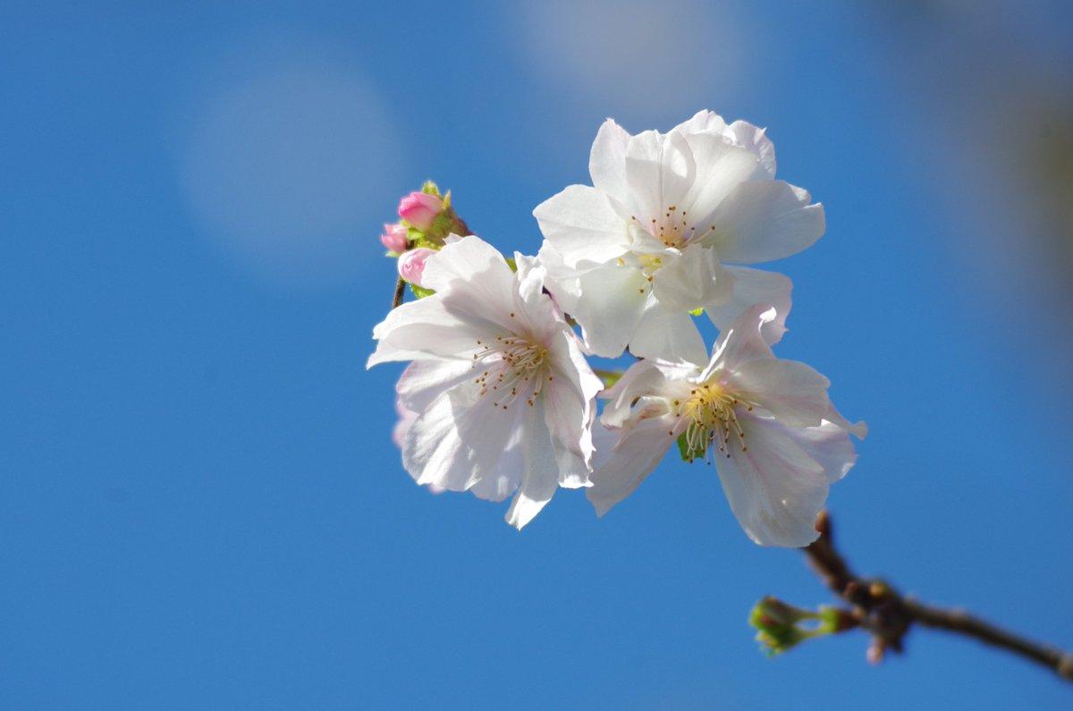 en ce mois d 39 octobre des cerisiers sont en fleurs pour la 2e fois de l 39 ann e au japon dozodomo. Black Bedroom Furniture Sets. Home Design Ideas